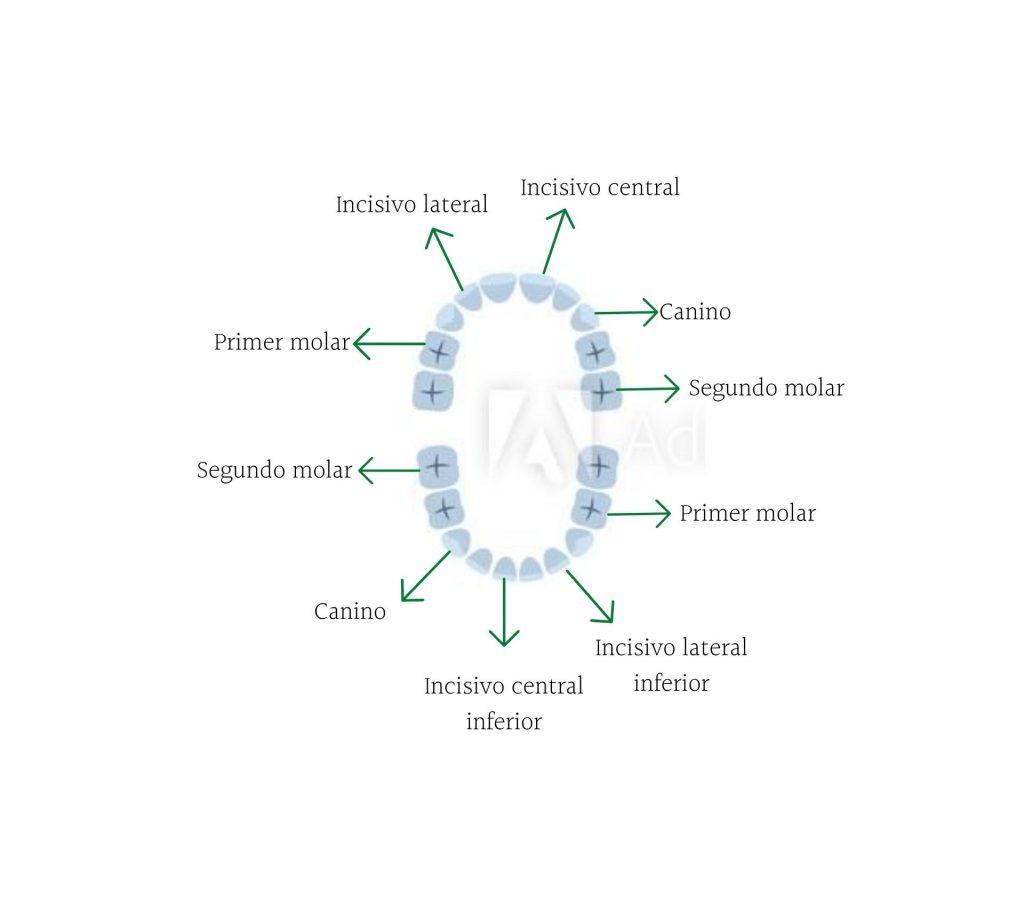 Nombres de los dientes de leche