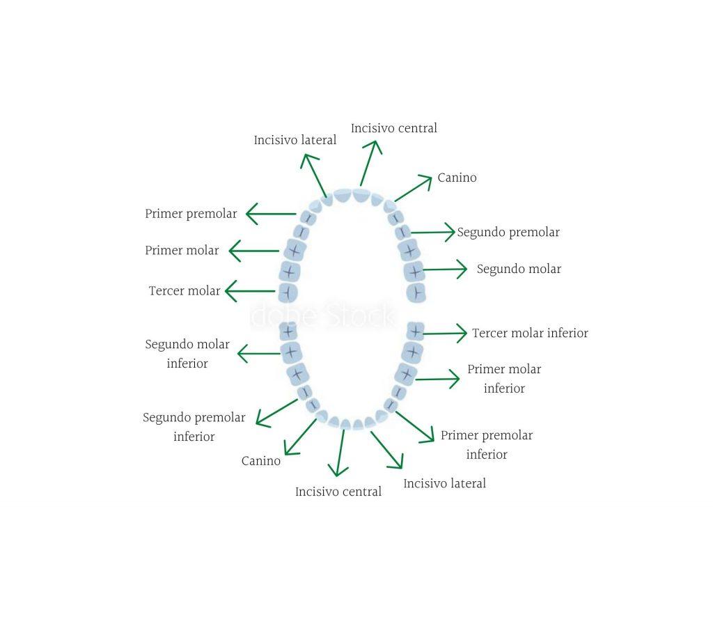 Nombres de los dientes y muelas humanos