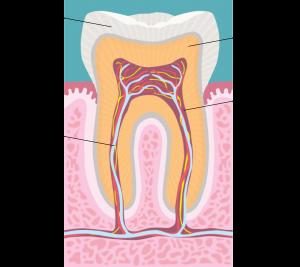 Endodoncia - Estructura del diente